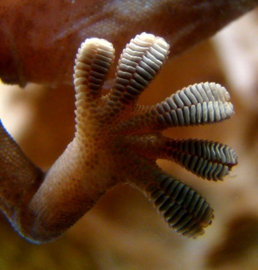 JPL researchers were inspired by gecko feet, such as the one shown here, in designing a gripping system for space. Just as a gecko's foot has tiny adhesive hairs, the JPL devices have small structures that work in similar ways. Credits: Wikimedia Commons