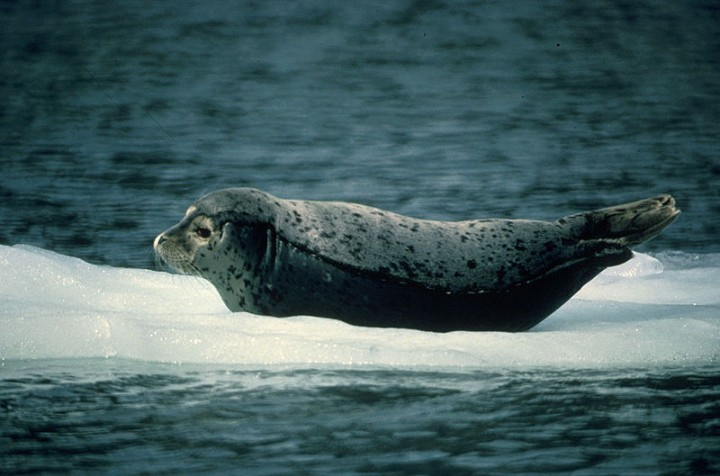 For a long time scientists thought hepatitis A is only common in humans and primates. But now they discovered a relative virus in harbour seals. However, whether humans got it from seals, vice versa or there was a third species with the origin of the virus remains unknown. Image credit: Sue Matthews, U.S. Fish and Wildlife Service, via Wikimedia, Public Domain