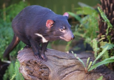 A Tasmanian devil (Sarcophilus harrissi) photographed at the Adelaide Zoological Gardens, South Australia. (Photo credit: Roger Smith, Flickr)