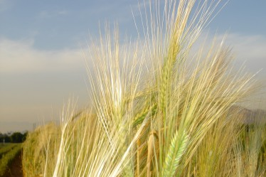 Barley is one of the world's most important cereal crops. Image credit: UC Riverside