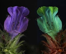 Borage family flowers (Echium angustifolium) as seen in human vision (left) and honeybee vision (right). To humans the flowers are a fairly uniform purple, but bees can see two UV absorbent patches at the top of the flower. Image courtesy of Jolyon Troscianko.