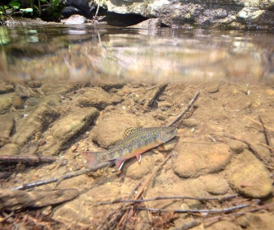 An eastern brook trout Image: College of Agricultural Sciences / Penn State