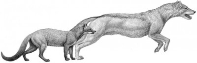 Cut to the chase Two early dogs, Hesperocyon, left and the later Sunkahetanka, were both ambush-style predators. As climate changes transformed their habitat, dogs evolved pursuit hunting styles and forelimb anatomy to match. Image: Mauricio Anton