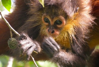 Spider monkeys are omnivores, often feeding on fruits and insects. Image credit: Kevin Lafferty
