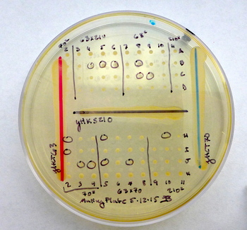 This plate shows experimental crosses between different yeast species.