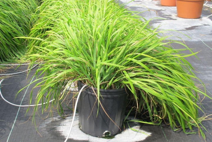 Sweetgrass, a plant used in traditional medicine, contains compounds that can repel mosquitoes. Credit: Andrew Maxwell Phineas Jones, University of Guelph