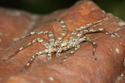 This spider from the genus Selenops is about two inches across and hunts in the tree canopy at night for its prey. Image credit: Stephen Yanoviak, Univ. of Kentucky.