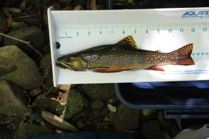 Image: College of Agricultural Sciences / Penn State Eastern brook trout