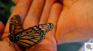 A monarch butterfly at the U-M Biological Station.