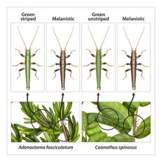 A new study involving CU-Boulder looks at the role of natural selection on three types of stick insect belonging to the species Timema cristinae. The illustration shows how green, striped, and melanistic, or brown varieties have evolved camouflaged appearances matching them to certain areas on two separate species of shrub. Image credit: Rosa Marin