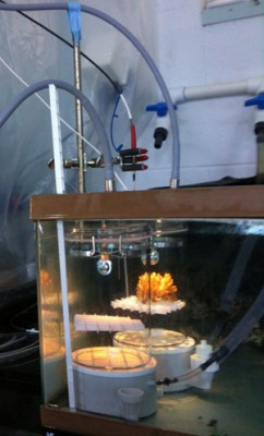 Adult corals were placed in closed chambers to measure physiology. Image credit: Hollie Putnam, HIMB