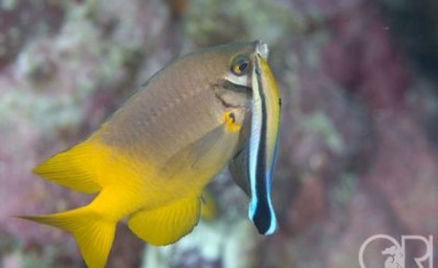 Photo: Cleaner wrasse with a client Scarface damsel by Richard Smith