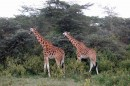Giraffes in Africa now eat by browsing leaves from trees and shrubs. One ancient species of giraffe grazed on grass but went extinct. These giraffes are in Kenya's Samburu National Reserve. Image credit: Mahala Kephart