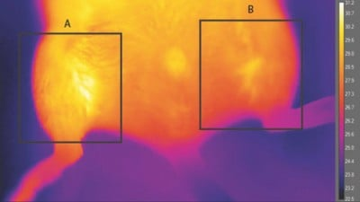 Thermograph of brown-like fat implanted in anesthetized animal at room temperature. The implant, shown in area A, is significantly warmer (30.86 degrees Celsius maximum) compared with the control region in area B (29.43 degrees Celsius maximum). Image credit: Kevin Tharp and Andreas Stahl