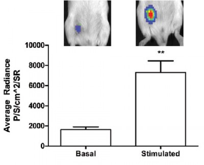 mplants respond to a stimulated cold challenge with increased fat uptake. Images on top are anesthetized animals with implants that emit light proportionally to the uptake rate of fatty acids. The bar graphs show the higher rate of activity under stimulated conditions. Image credit: Kevin Tharp and Andreas Stahl