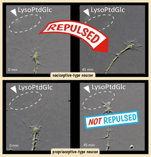 Lipid, called LysoPtdGlc, repels pain-sensing neuron, thus guiding it to the right. Position-sensing neuron is not affected by the LysoPtdGlc and continues its way forward. It explains how neuron networks form when nervous system develops and may help heal spinal cord injuries in the future. Image credit: riken.jp