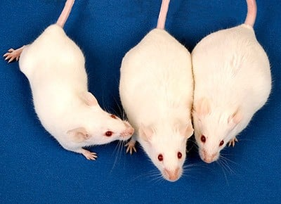 Mice exposed to low-level arsenic in utero become obese adults. The control mouse, left, was not exposed to arsenic during embryonic development and is a normal weight. In comparison, mice exposed to arsenic at 10 parts per billion, center, and 42 parts per million, right, are visibly heavier. The study also determined that these exposed mice entered puberty earlier than controls. Image credit: NIEHS