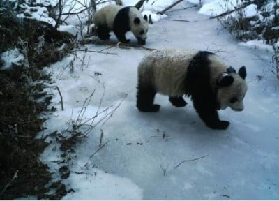 Mei Mei and her cub are tracked as they mosey about Wolong Nature Reserve. Photo by Jindong Zhang