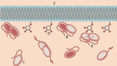 An activated PTEN dimer that contains two non-mutant proteins (A) can transform the functional lipid (D) on the cellular membrane (E) into a chemical form that tunes down cancer predilection. Dimers that contain a mutated protein (B), or PTEN monomers can not transform the functional lipid.