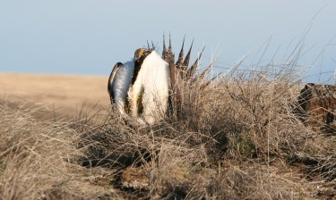 A male sage grouse displaying during mating season. Image credit: Michael Schroeder/Dept. of Fish and Wildlife