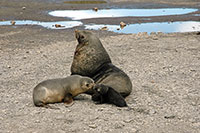 An Antarctic fur seal mother smells its pup. Image credit: David Vaynor Evans, British Antarctic Survey