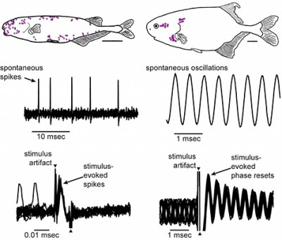 In fish that can detect variation in signal waveform, the receptors, shown as pink dots, are distributed across the body surface (top left). These receptors spontaneously generate spikes at low rates (middle left). When responses to 10 repetitions of an electric stimulus pulse are superimposed on one another (bottom left), it is clear that each stimulus repetition elicits a short-latency spike. In fish that cannot detection variation in signal waveform, the receptors are organized into three clusters, or rosettes, on the head (top right). These receptors generate spontaneous oscillations (middle right). An electric stimulus pulse resets the oscillation phase: across 10 stimulus repetitions, the oscillations are out of phase with one another before the stimulus, but reset to the same phase just after the stimulus (bottom right). Image credit: Carlson and Baker