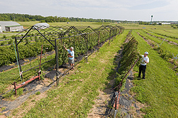 ARS horticulturist Fumiomi Takeda (right) has developed a rotatable trellis system giving blackberry growers more management options and increasing boost profits