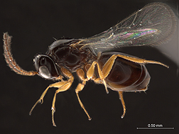 ARS helped compile a new interactive, image-based online resource to identify wasps in superfamily Cynipoidea, which includes many of the parasitoid wasps.