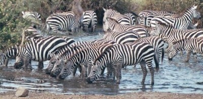 Zebras, Serengeti National Park, Tanzania Credit: CodeisPoetry - See more at: https://www.cam.ac.uk/research/news/predators-might-not-be-dazzled-by-stripes#sthash.0HVk1qbN.dpuf