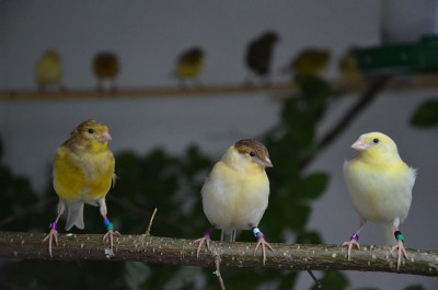 Young canaries at the age of 110, 72, and 39 days (from left). During their development they were exposed to different amounts of adult singing. © MPI f. Ornithology/ S. Leitner