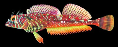 An illustration of the longfin sculpin (Jordania zonope). Image credit: Joseph R. Tomelleri