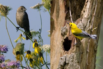 Researchers observed the results when female cowbirds, left, laid their eggs in the nests of prothonotary warblers, right. Photos by: Chris Young (cowbird) and Michael Jeffords (warbler)