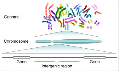Illustration of the human genome, from the genome to a chromosome, and from a chromosome to genes. Image credit: Plociam, Wikimedia Commons