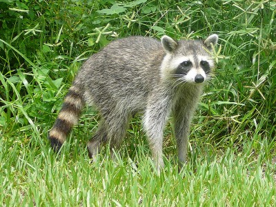 Common racoon. Image credit: Bastique, Wkimedia Commons