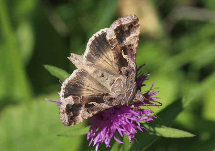 This is a photo of a Silver Y moth (Autographa gamma). Image credit: Ian Woiwod