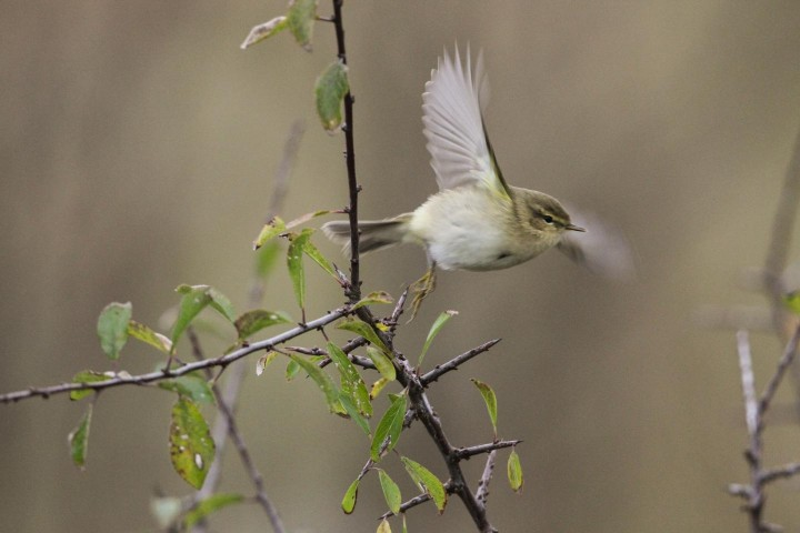 This is a photo of a chiff-chaff (Phylloscopus collybita). Image credit: Thomas Alerstam