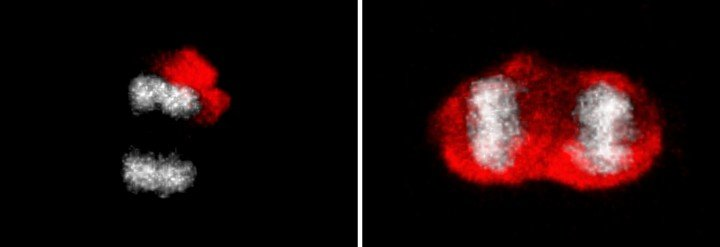 The stem cells asymmetrically segregate damaged proteins (red) between the mother and the daughter cells (on the left: DNA grey). Responsible for this is a diffusion barrier. The strength of the barrier weakens with advancing age. This leads to reduced asymmetry of damaged protein segregation (on the right). (Image: UZH)