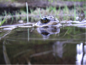 The Cascades frog depends on mountain wetlands for survival. Image credit: Maureen Ryan/University of Washington