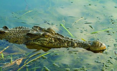 "An estuarine crocodile, also known as a ""saltie"". Image credit: The University of Queensland"
