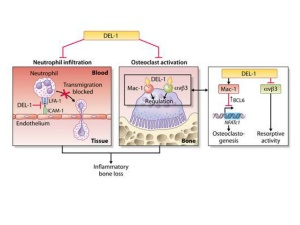 The team's study showed that Del-1 has a dual role in blocking bone loss in periodontitis.