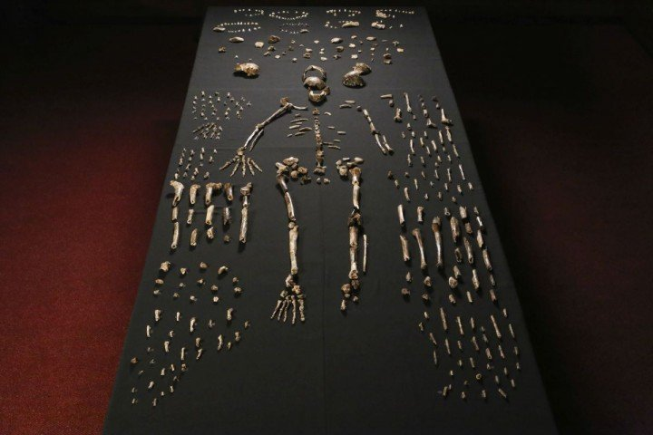 Skeleton of Homo naledi are pictured in the Wits bone vault at the Evolutionary Studies Institute at the University of the Witwatersrand, Johannesburg, South Africa, on Sept. 13, 2014. The fossils are among nearly 1,700 bones and teeth retrieved from a nearly inaccessible cave near Johannesburg. The fossil trove was created, scientists believe, by Homo naledi repeatedly secreting the bodies of their dead companions in the cave. Analysis of the fossils -- part of a project known as the Rising Star Expedition -- was led in part by paleoanthropologist John Hawks, professor of anthropology at the University of Wisconsin-Madison. (Photo by John Hawks/University of Wisconsin-Madison)