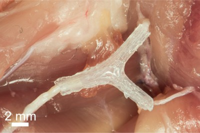 A 3D-printed nerve regeneration pathway implanted in a rat helped to improve walking in 10 to 12 weeks after implantation.