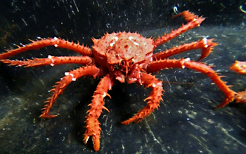 A king crab in antarctic waters. If the shell-crushing predators, return to the antarctic continental shelf, researchers have concluded they will likely disrupt the existing ecosystem, where animals have no defense against them. Image credit: NSF/Allison Randolph, FIT