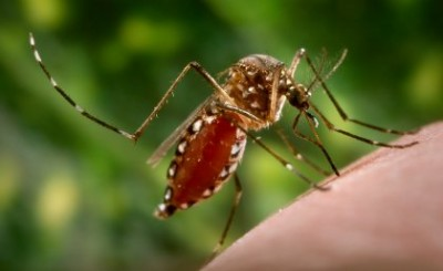 The aedes aegypti mosqutio can spread dengue fever and other diseases. Image credit: The University of Queensland