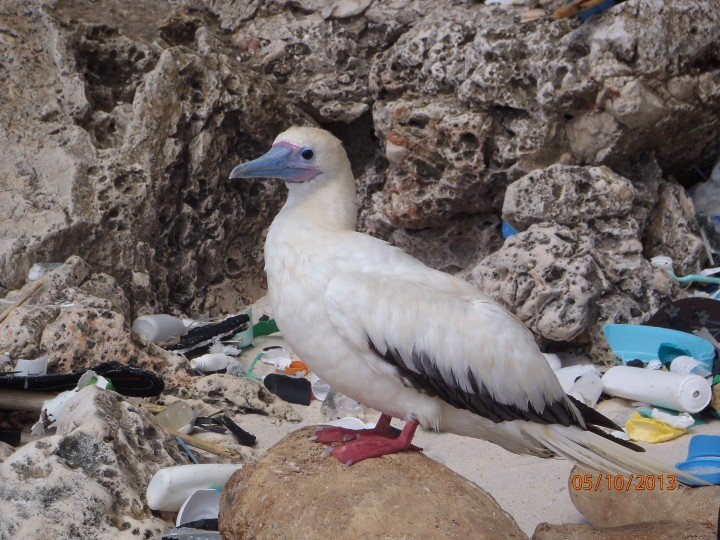 A red-footed booby on Christmas Island, in the Indian Ocean.