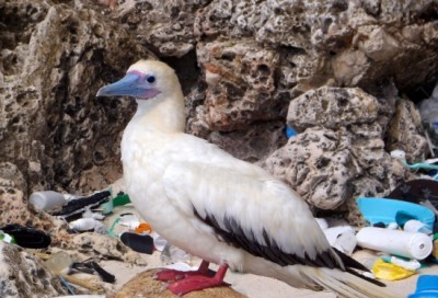 On Christmas Island in the Indian Ocean a red-footed booby stands amid plastic debris. Image credit: Britta Denise Hardesty