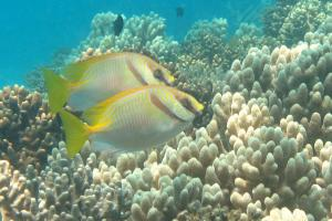 Rabbitfish on the Great Barrier Reef. Photo credit: J.Donelson