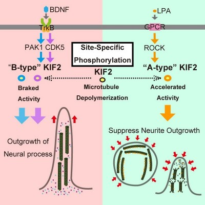 Accelerator and brake of microtubule depolymerizing machine, KIF2 Under BDNF stimulation, which induces growth of neuronal projections, PAK1 and CDK5 kinases phosphorylate specific sites on KIF2, acting as a brake suppressing KIF2's microtubule depolymerization activity. Under LPA stimulation, which suppresses the growth of neuronal projections, ROCK kinase phosphorylates phosphorylates a different site on KIF2, acting as an accelerator encouraging KIF2's microtubule depolymerization activity. Image credit: Hirokawa Lab, The University of Tokyo.