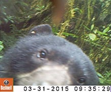 The new camera trap videos have confirmed the presence of the vulnerable spectacled bear, on which the children's character Paddington Bear is based, in the Sira Communal Reserve in Peru. Image credit: Exploration Sira