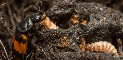 Female burying beetle with offspring. Image credit: Tom Houslay